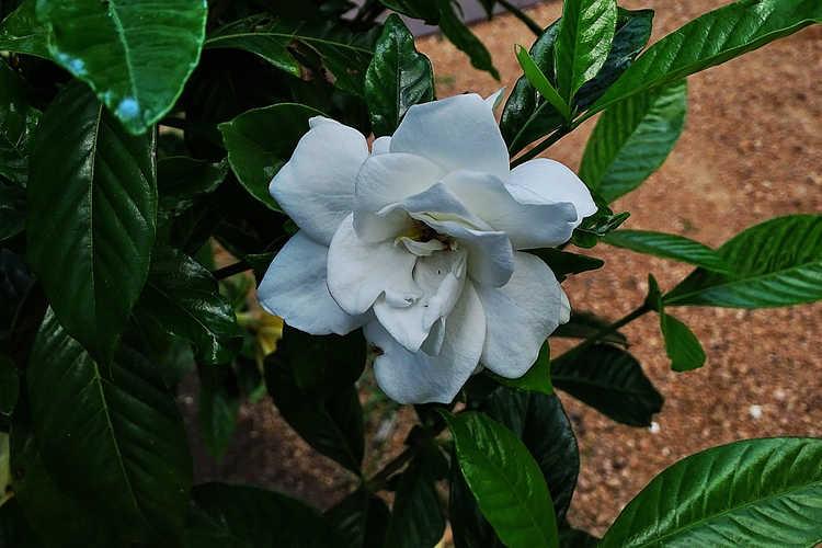 Gardenia jasminoides 'Michael' (Cape jessamine)