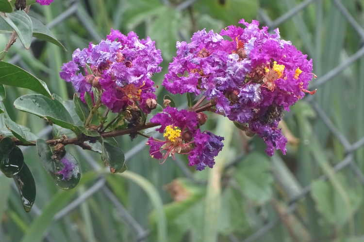 Lagerstroemia 'Purple Magic' (purple crepe myrtle)