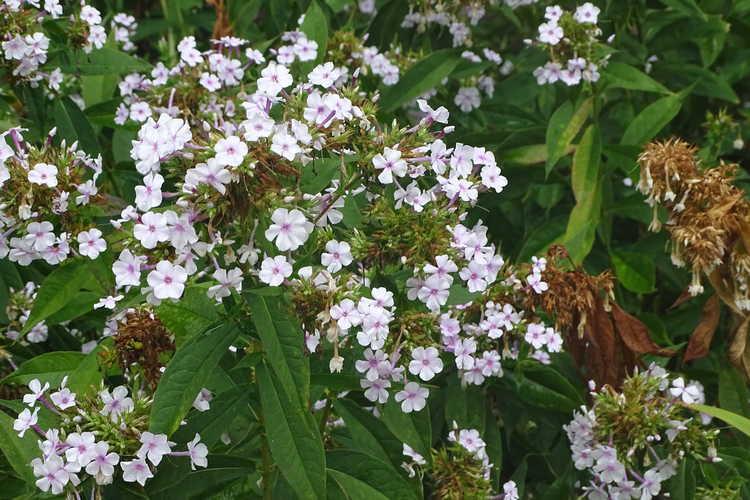 Phlox paniculata 'Delta Snow' (garden phlox)