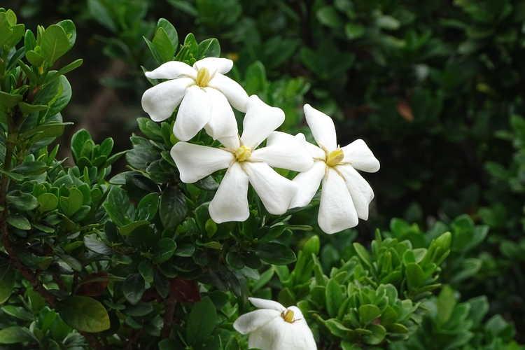 Gardenia jasminoides 'Lynn Lowrey' (Cape jessamine)