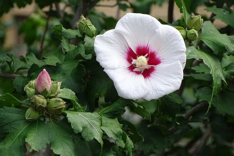 Hibiscus syriacus 'Helene' (rose-of-Sharon)