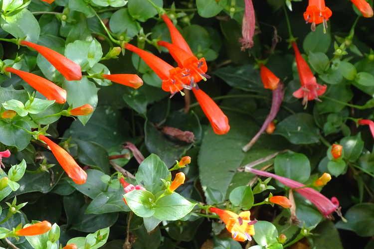 Manettia cordifolia (firecracker vine)