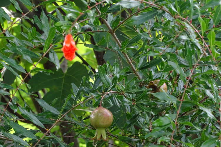 Punica granatum 'State Fair' (dwarf pomegranate)