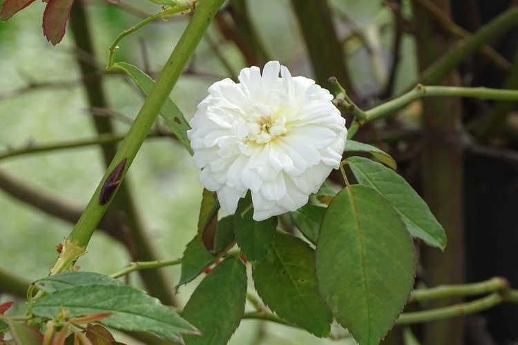 Rosa 'Auscanary' (Malvern Hills rambling rose)