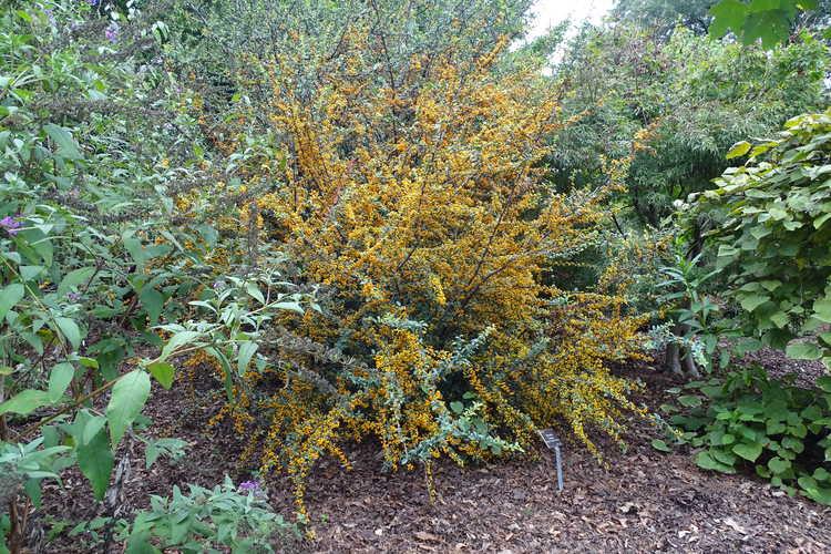 Pyracantha 'Cadange' (Saphyr Orange firethorn)