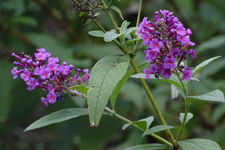 Buddleja davidii 'Opera' (butterfly-bush)