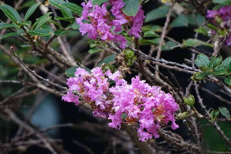 Lagerstroemia 'Gamad V' (Dazzle Me Pink compact crepe myrtle)