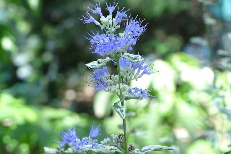 Caryopteris ×clandonensis 'White Surprise' (variegated bluebeard)