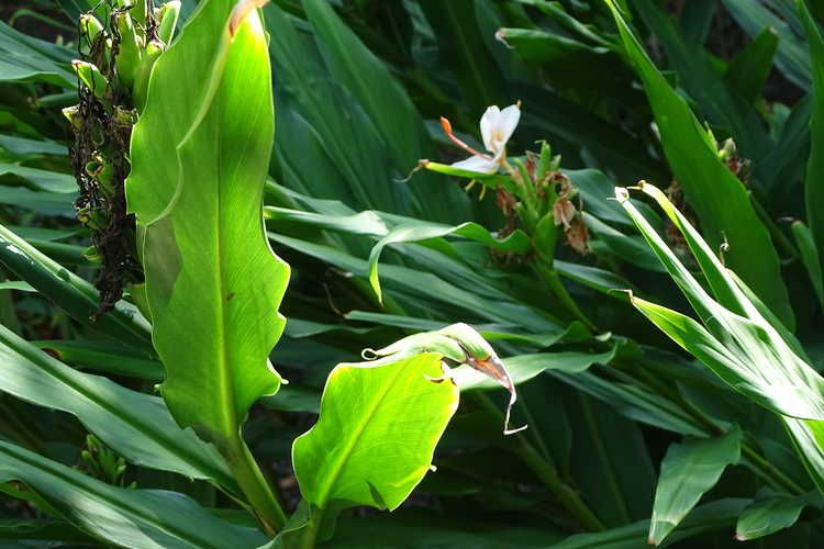 Hedychium 'Golden Butterfly' (hardy ginger-lily)