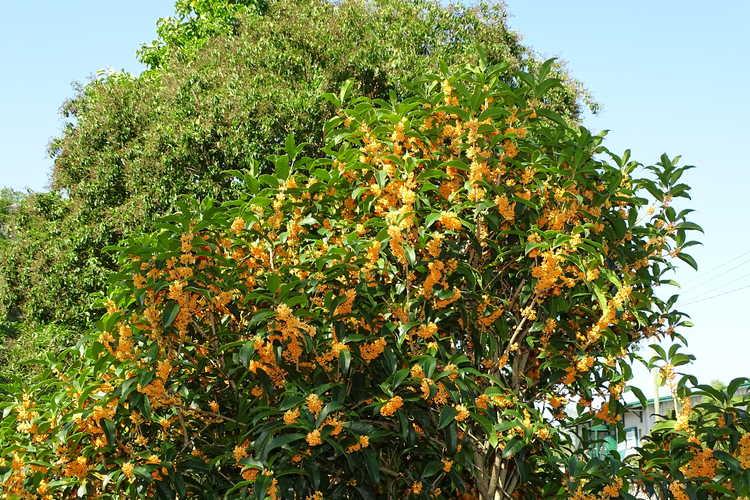 Osmanthus fragrans f. aurantiacus 'Apricot Gold' (golden sweet-olive)