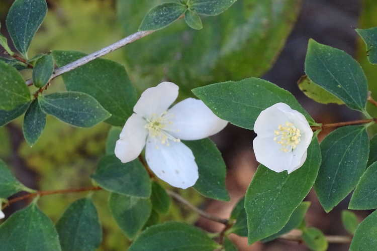 Philadelphus californicus 'Marjorie Schmidt' (California mock-orange)