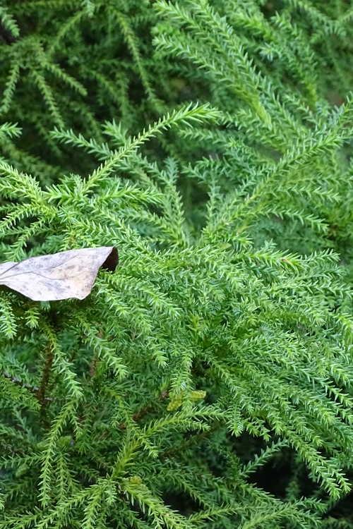 Cryptomeria japonica 'Pom Pom' (dwarf Japanese-cedar)