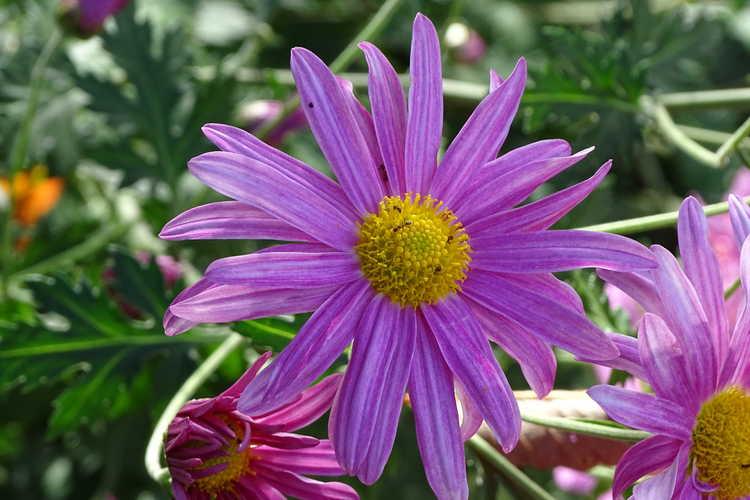 Chrysanthemum 'Miss Gloria's Thanksgiving Day' (garden chrysanthemum)