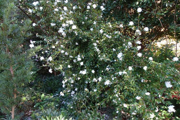 Camellia 'Snow Flurry' (Ackerman hybrid camellia)