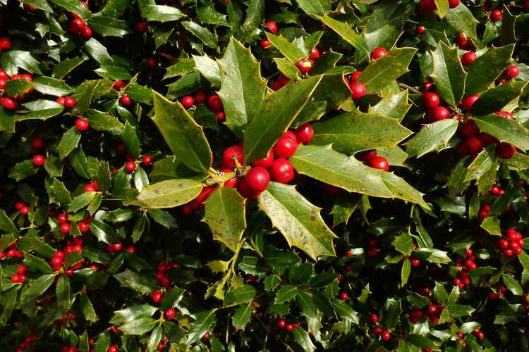 Ilex 'HL10-90' (Christmas Jewel® evergreen holly)