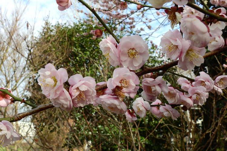 Prunus mume 'Rose Bud' (pink Japanese flowering apricot)