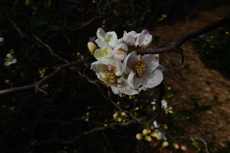 Chaenomeles speciosa 'Contorta' (contorted flowering quince)
