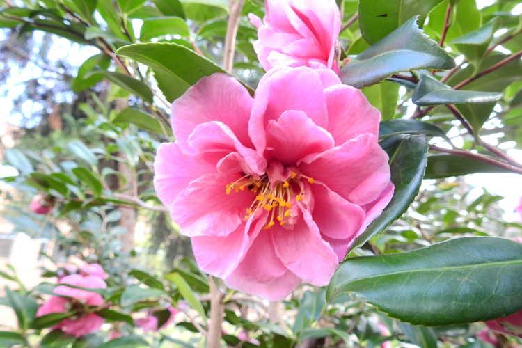 Camellia ×vernalis 'Egao Corkscrew' (contorted vernal camellia)