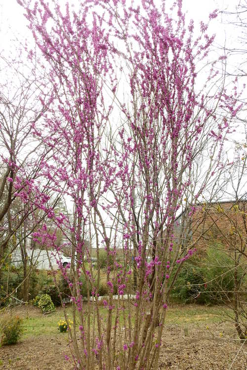 Cercis chinensis 'Kay's Early Hope' (Chinese redbud)