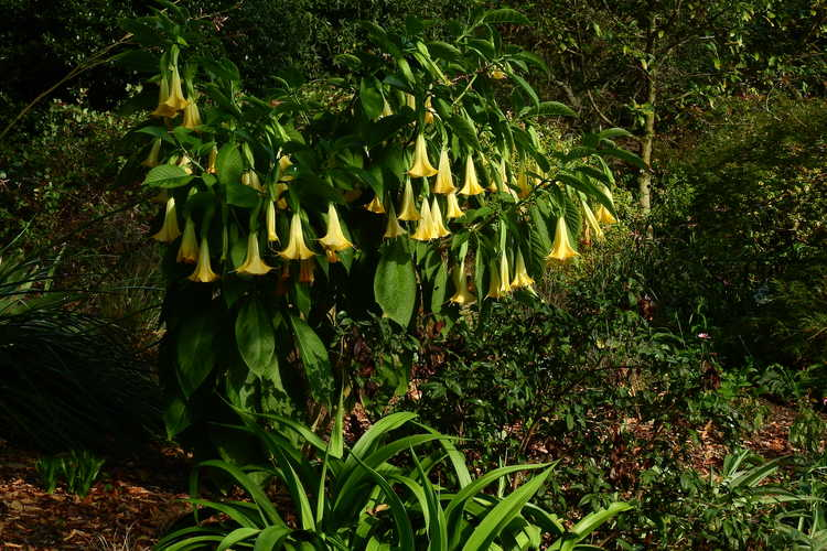 Brugmansia 'Inca Sun' (hybrid angel's trumpet)