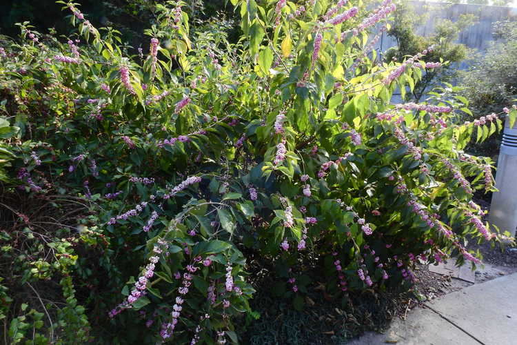 Callicarpa americana 'Welch's Pink' (pink American beautyberry)