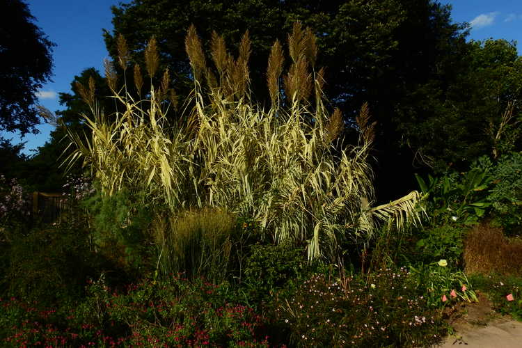 Arundo donax 'Peppermint Stick' (variegated giant reed)