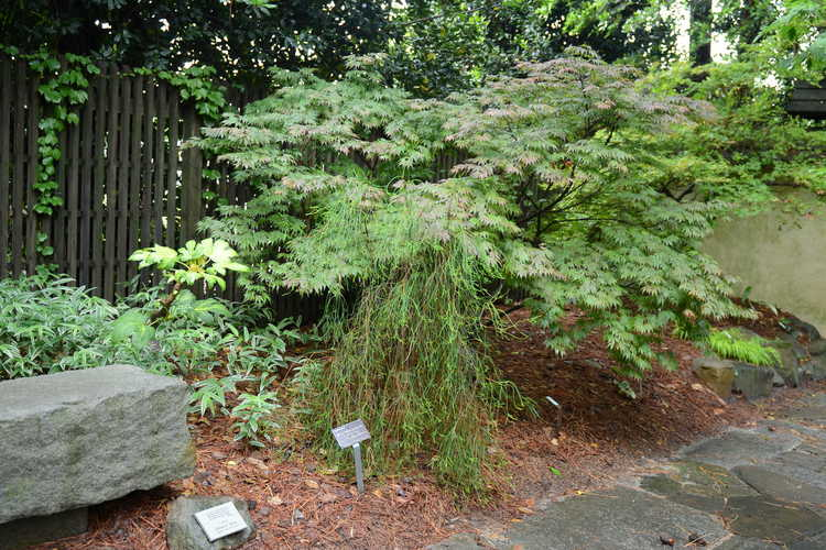 Platycladus orientalis (Oriental arborvitae) - Photos by Jeanne Wilkinson