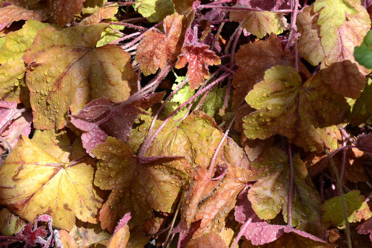 ×Heucherella 'Redstone Falls' (trailing foamy bells)