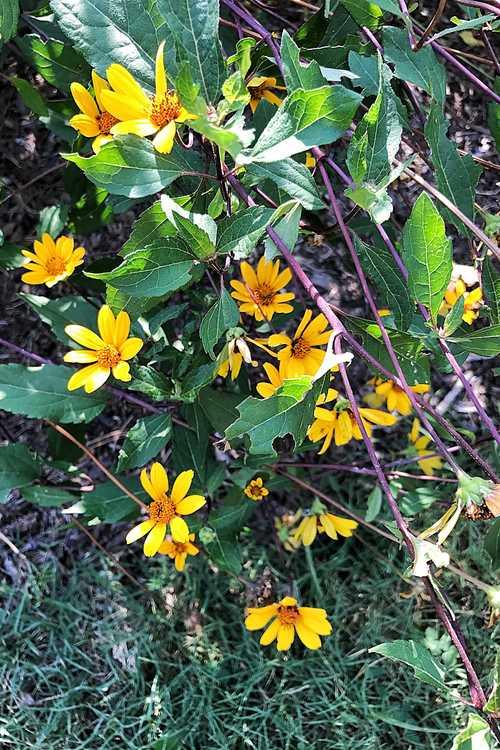 Heliopsis helianthoides 'Prairie Sunset' (false sunflower)