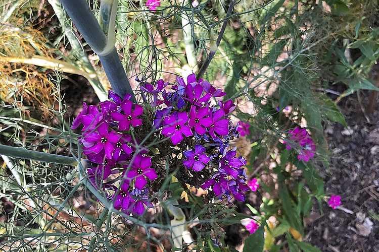 Phlox paniculata 'Nicky' (garden phlox)