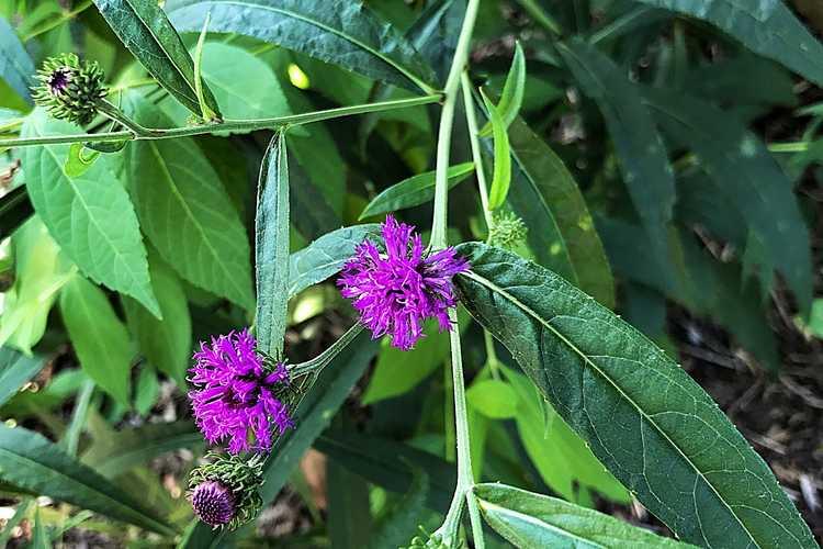 Vernonia (ironweed)