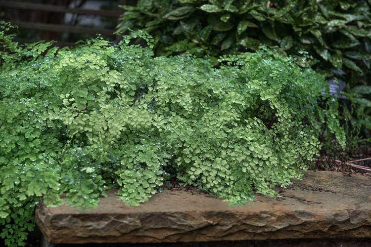 Adiantum ×mairisii (Mairis's maidenhair fern)