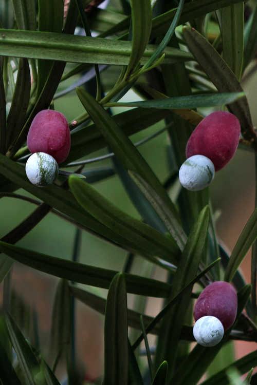 Podocarpus macrophyllus 'Sunshine Spire' (columnar Japanese yew-pine)
