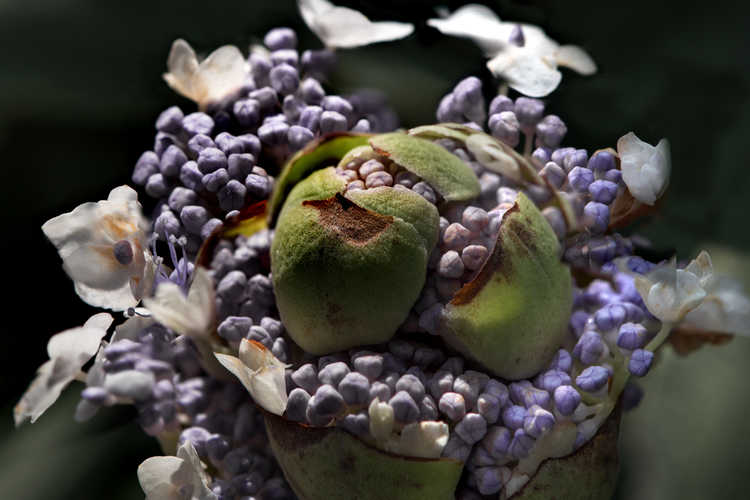 Hydrangea involucrata 'Wim Rutten' (Blue Bunny bracted hydrangea)