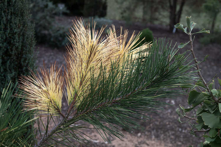 Pinus thunbergii 'Frosty Patches' (Japanese black pine)