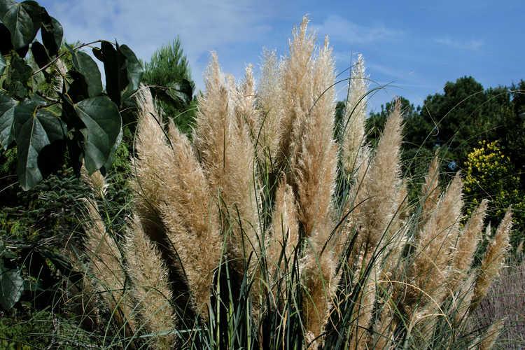 Cortaderia selloana 'Sunningdale Silver' (Pampas grass)