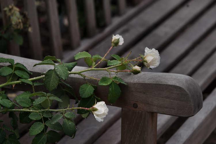 Rosa 'Radclean' (Cloud 10 climbing rose)