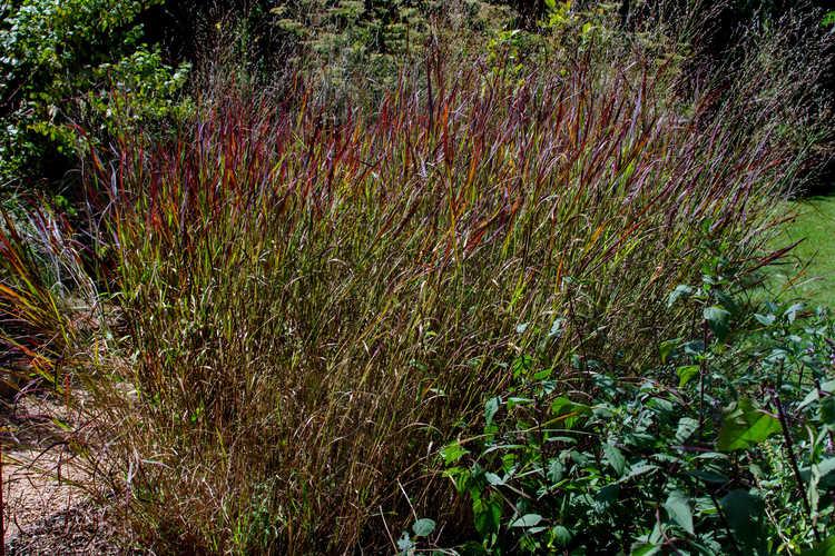 Panicum virgatum 'Shenandoah' (common switch grass)