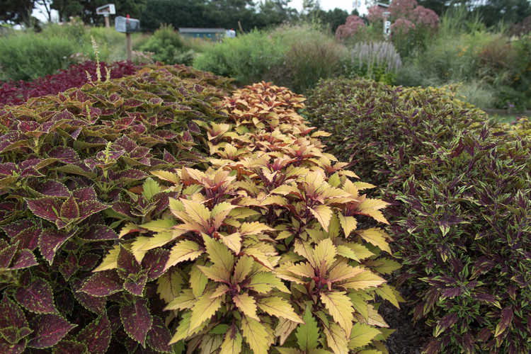 Solenostemon scutellarioides 'Uf12735' Flame Thrower Spiced Curry coleus Color Trials