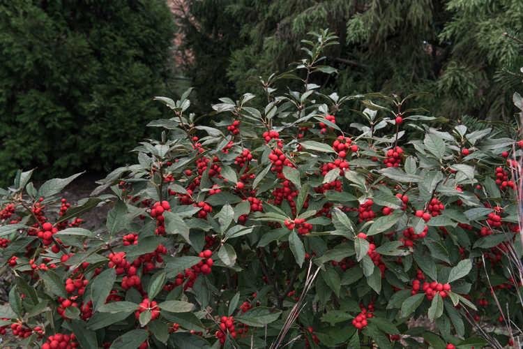 Ilex verticillata 'Farrowbpop' (Berry Poppins winterberry holly)