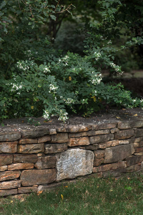 Lespedeza thunbergii 'White Fountain' (white bush-clover)