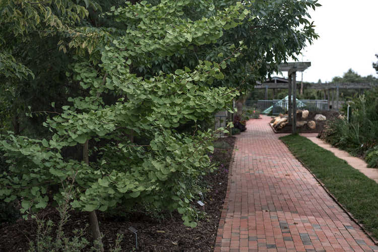 Ginkgo biloba 'JFS-UGA2' (Golden Colonnade upright maidenhair tree)
