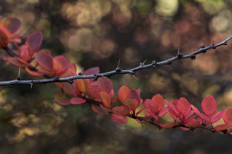 Berberis thunbergii 'Kelleriis' (Japanese barberry)