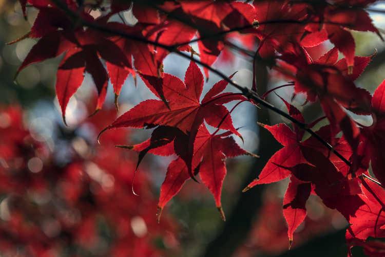 Acer palmatum 'Bloodgood' (purple-leaf Japanese maple)