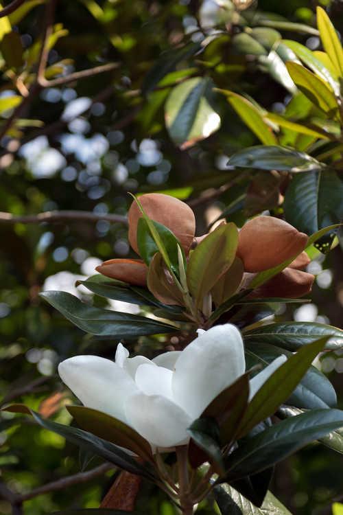 Magnolia grandiflora 'Emerald Spire' (Southern magnolia)