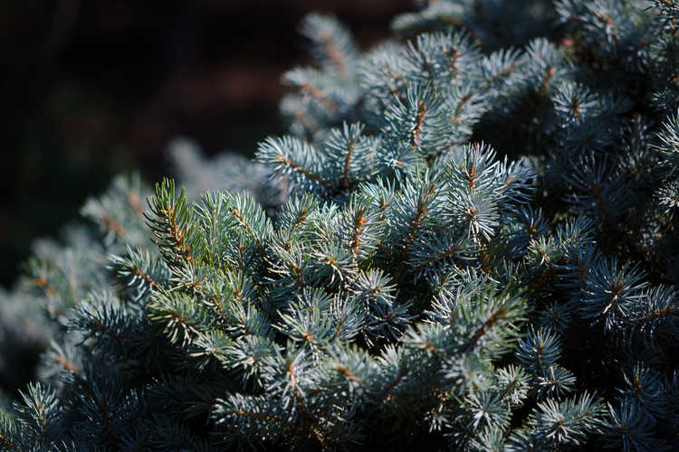 Picea pungens 'Thuem' (compact Colorado blue spruce)