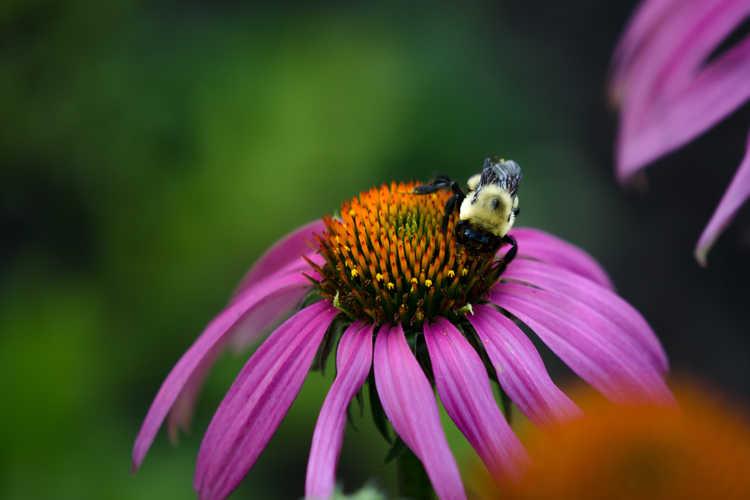 Echinacea 'Conevin' (Purple Fantasy™ hybrid coneflower)