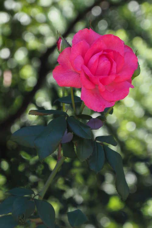 Rosa 'Radtreasure' (Tahitian Treasure grandiflora rose)
