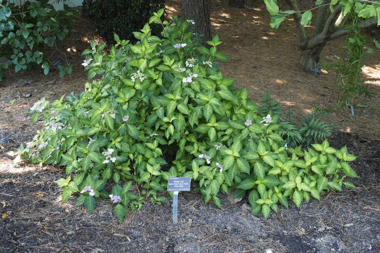 Hydrangea serrata (mountain hydrangea)