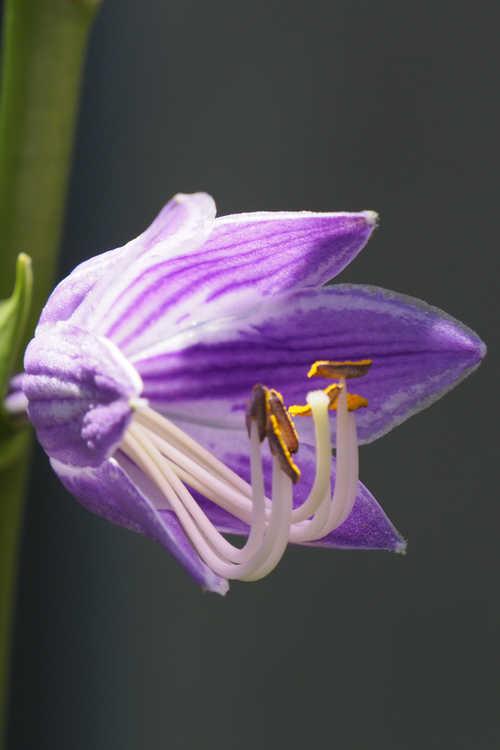 Hosta kiyosumiensis (Mt. Kiyosumi hosta)